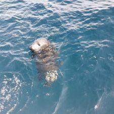 Liberada la cría de foca que fue rescatada el pasado mes de febrero en la playa de San Antolín de Llanes