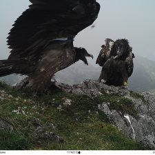 Mañana llega a los Picos de Europa un nuevo pollo de Quebrantahuesos para ser liberado en el Parque Nacional