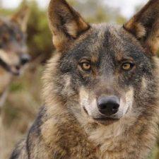 El Principado autoriza la caza de 32 lobos en Asturias, siete de ellos en los Picos de Europa y su entorno