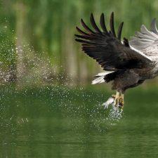 Pimiangu (Ribadedeva) lidera la reintroducción del Pigargo europeo en los cielos y mares de España