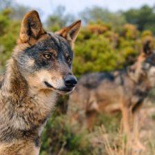 El Estado protege al lobo en todo el territorio español y el Principado anuncia un contundente recurso