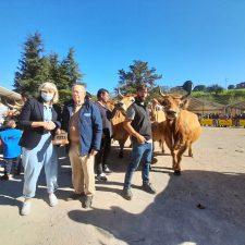 El Concurso de Santa Teresa reúne 260 reses de mas de 50 ganaderías en Infiesto